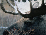 Bull Moose, Denali National Park &amp; Preserve, Alaska, USA Photographic Print by Mark Newman
