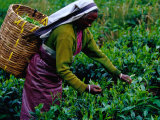 Worker Picking Tea Bushes, Nuwara Eliya, Sri Lanka Photographic Print by Richard I'Anson