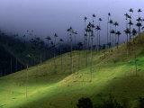 The Colombian National Tree Palma De Cera, Armenia, Colombia, Photographic Print