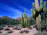 Saguaro Forest, Organ Pipe Cactus National Monument in the Sonoran Desert, Arizona, USA Photographic Print by Carol Polich