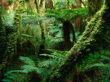 Trees and Ferns in Beech Forest, Oparara, New Zealand Photographic Print by Oliver Strewe