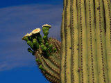 Flowering Saguaro Cactus in the Sonoran Desert, California, USA Photographic Print by Carol Polich