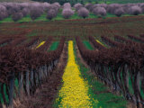 Vineyards and Almond Trees in the Mclaren Vale District, Australia Photographic Print by Diana Mayfield