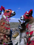 Llamas in full dress from the Alto Plano (High Plain) Region, Puno, Peru Giclee Print