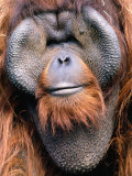 Orangutan (Pongo Pygmaeus), Indonesia Photographic Print by Mark Newman