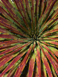 Detail of Spiky-Leafed Puya (Bromeliad), Cajas National Park, Azuay, Ecuador Photographic Print by Grant Dixon