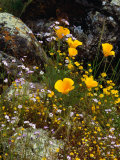 Yellow California Poppy in the North Coast Range of California, California, USA Photographic Print by Wes Walker