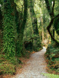 Walking Track to Ship Creek, New Zealand Photographic Print by David Wall