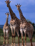 Giraffe Family, Kruger National Park, Kruger National Park, Mpumalanga, South Africa Photographic Print by Carol Polich