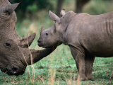 White Rhinceros with Young, Tala Private Game Reserve, Kwazulu-Natal, South Africa Photographic Print by Carol Polich