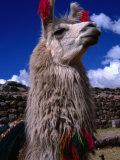 Decorated Llama, Cuzco, Peru Fotografisk tryk af Grant Dixon