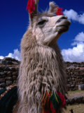 Decorated Llama, Cuzco, Peru Photographic Print by Grant Dixon