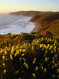 Yellow Lupine on Mcclure's Beach in Marin County, Point Reyes National Seashore, California, USA Photographic Print by Wes Walker
