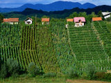 Vineyards in Zagorte Region, Croatia Photographic Print by Wayne Walton