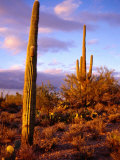 Cacti with Clouds in Background, Saguaro National Park, USA Photographic Print by Charlotte Hindle