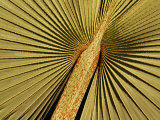 Detail of a Palm Tree Leaf at the Riverfront Complex, Fort Lauderdale, Florida, USA 写真プリント : リチャード・カミンズ