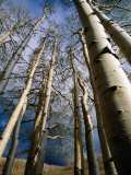 Aspen Trees in Spring, Utah, Utah, USA Photographic Print by Carol Polich