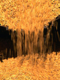 Chinese rice harvest, Beijing, China Lmina fotogrfica por Keren Su