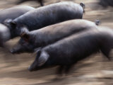 Black Iberico Pigs, Andalucia, Spain Fotografie-Druck von Oliver Strewe