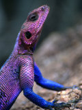 Flat-Headed Rock Agama (Agama Mwanzae), Serengeti National Park, Arusha, Tanzania Photographic Print by Ariadne Van Zandbergen