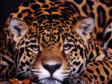 Portrait of a Jaguar, Brazil Fotografiskt tryck av Mark Newman