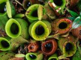 Nepenthes or Pitcher Plants, Sarawak, Malaysia Photographic Print by Mark Daffey