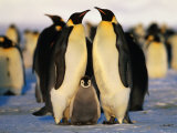 Emperor Penguins with Chick, Dawson-Lambton Glacier, Weddell Sea, Antarctica Photographie par David Tipling