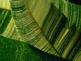Banana Palm Frond Detail, USA Photographic Print by Nicholas Pavloff