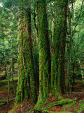Myrtle Beech (Nothofagus Cunninghamii) in Mersey Valley Rainforest, Tasmania, Australia Photographic Print by Rob Blakers