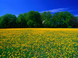 Carpet of Dandelions in Kullaberg, Skane, Sweden Photographic Print by Anders Blomqvist