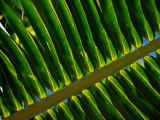 Detail of Palm Leaf Frond, Cook Islands Photographic Print by Jean-Bernard Carillet