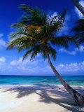 A Palm Tree Bends to the Caribbean Sea on a Key in the San Blas Islands, San Blas, Panama Fotografisk trykk av Alfredo Maiquez