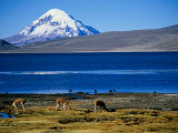 Vicuna along Shoreline of Lago Chungara with Volcano Sajama in Background, Lauca Nat. Park, Chile Photographic Print by Woods Wheatcroft