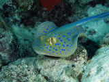 The Blue-Spotted Stingray (Taeniura Lymma), Red Sea, Egypt Fotodruck von Casey Mahaney