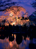 Giant Cherry Blossom Tree in Maruyama Park, Kyoto, Japan Photographic Print by Frank Carter