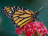 Monarch Butterfly on a Pink Flower at the White River Gardens, Indianapolis, Indiana, USA Photographic Print by Richard Cummins