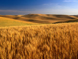 Wheat Fields, Palouse, USA Fotografisk tryk af Brent Winebrenner