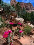 Simpson Hedgehog Cactus, Kolob Canyon, Zion National Park, USA Photographic Print by John Elk III