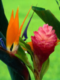 Bird Of Paradise Flower At The Foster Botanic Garden.,Honolulu, Oahu, Hawaii, U.S.A. Lámina fotográfica por Richard Cummins