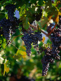Purple Grapes Hanging on Vine, Napa Valley, California, USA Photographic Print by Stephen Saks