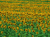 Sunflower Field, Tuscany, Italy Photographic Print by David Tomlinson