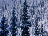 Pine Forest on Hillside Aspen, Colorado, USA Photographic Print by Rob Blakers