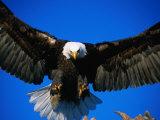Bald Eagle (Haliaeetus Leucocephalus), USA Fotografiskt tryck av Mark Newman