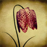 Crimson Fritillaria Print by Howard Waisman