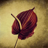 Crimson Anthurium Poster by Howard Waisman