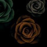 Rose Trio II Prints by Jan Lens
