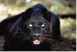 Black Panther Close-Up Trykk på strukket lerret