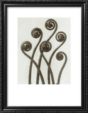 Adiantum Pedatum, Hair Fern Prints by Karl Blossfeldt