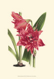 Amaryllis Blooms III Posters by Van Houtteano 