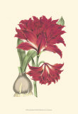 Amaryllis Blooms II Art by  Van Houtteano